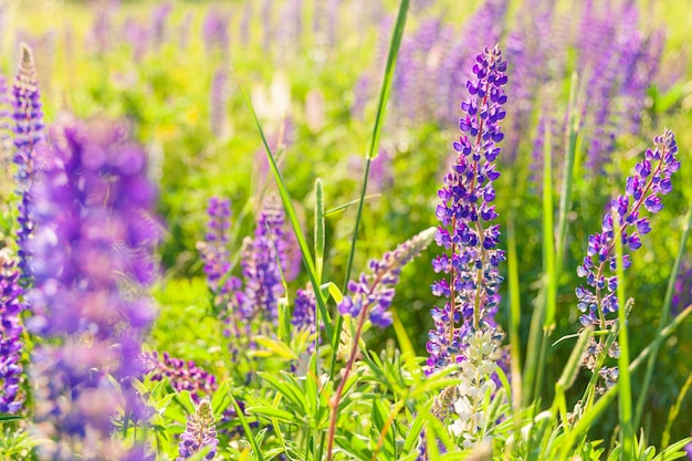Mooie bloeiende lupine bloemen in het voorjaar. gebied van lupine planten achtergrond. violet wilde lente- en zomerbloemen. zachte warme zachte kleuren, selectieve focus, onscherpe achtergrond
