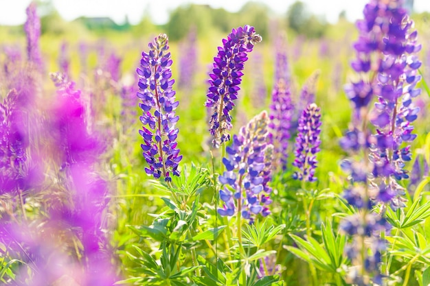 Mooie bloeiende lupine bloemen in het voorjaar violet wilde lente- en zomerbloemen