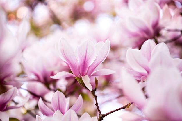 Mooie bloeiende magnolia bloeit op de enorme magnoliaboom