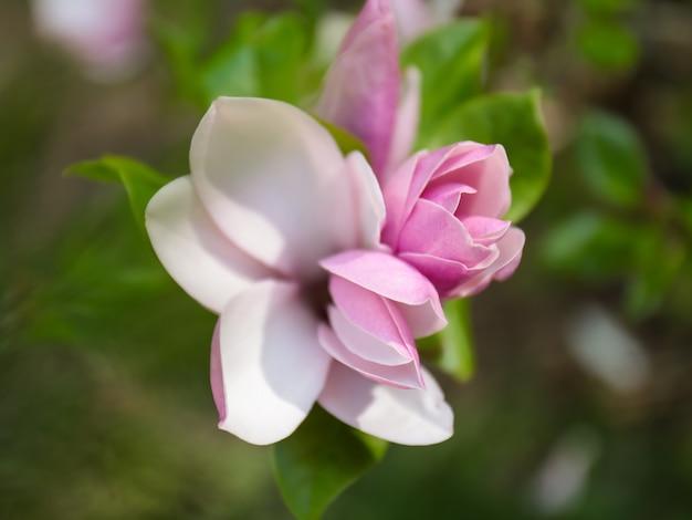 Mooie bloeiende magnolia bloemen op wazig