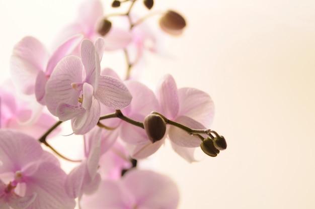 Mooie bloeiende orchidee geïsoleerd op wit. roze orchidee bloem.