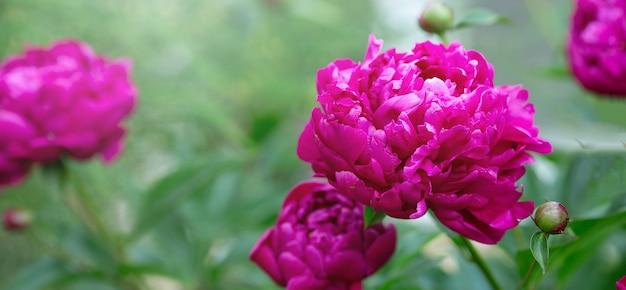 Mooie bloeiende pioenen in de tuin