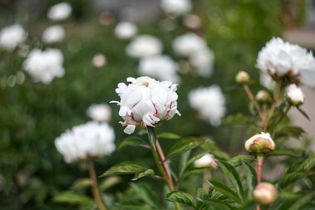 Mooie bloeiende pioniersbloemen in botanische tuin.