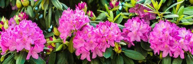 Mooie bloeiende roze azalea - bloeiende struiken in het geslacht rhododendron. roze, zomer bloem achtergrond. tuinieren