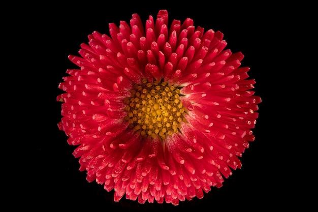 Mooie bloeiende roze gerbera madeliefje bloem op zwarte achtergrond