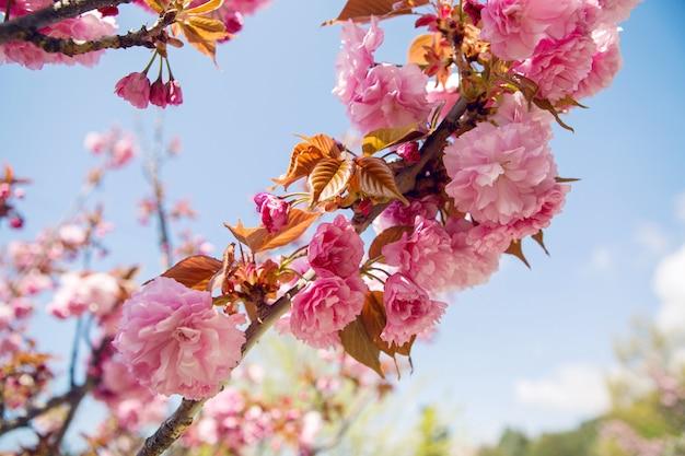 Mooie bloeiende roze kersenbloesems in de japanse tuin in het voorjaar