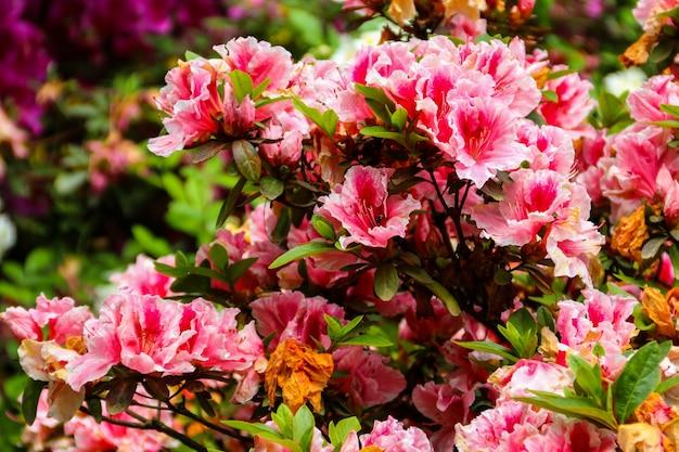 Mooie bloeiende roze rododendron in de tuin