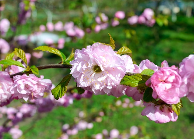 Mooie bloeiende tak van chinese pruimen close-up. sakura. tuinen in het voorjaar