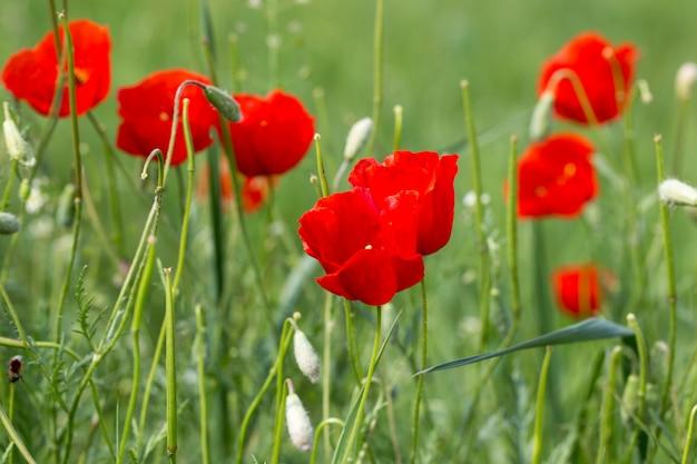 Mooie bloeiende weide van klaprozen in de stralen van de ondergaande zon