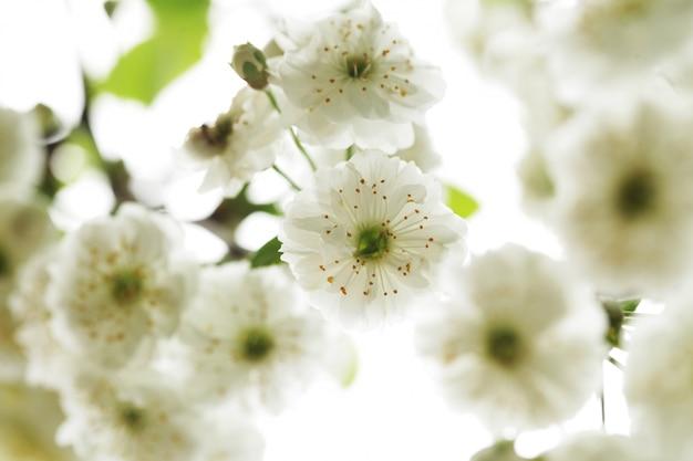 Mooie, bloeiende witte bloemen