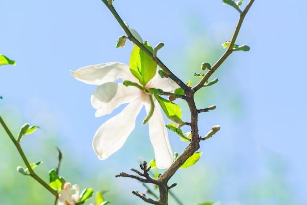 Mooie bloeiende witte magnoliabloem in de stralen van zon tegen blauwe hemel.