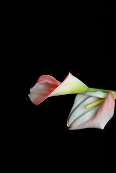 Mooie bloem calla lelie