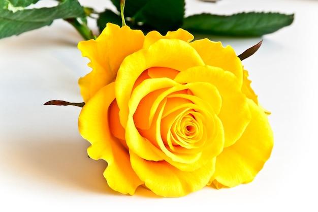 Mooie bloem. gele roos geïsoleerd op wit