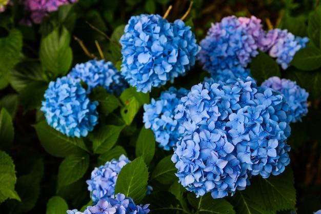 Mooie bloem, hortensia bloemen, hortensia macrophylla bloeien in de tuin japan.