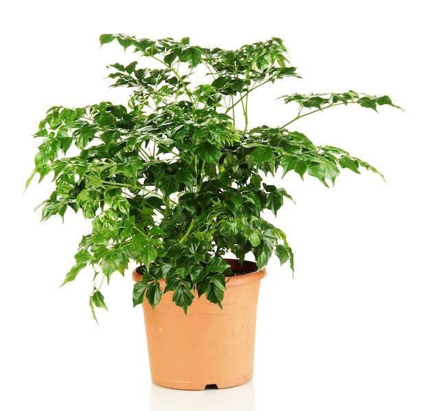 Mooie bloem in pot op wit