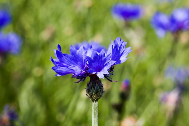 Mooie bloem, korenbloemblauwe kleur close-up, de echte kenmerken van de natuur in de lente van het jaar