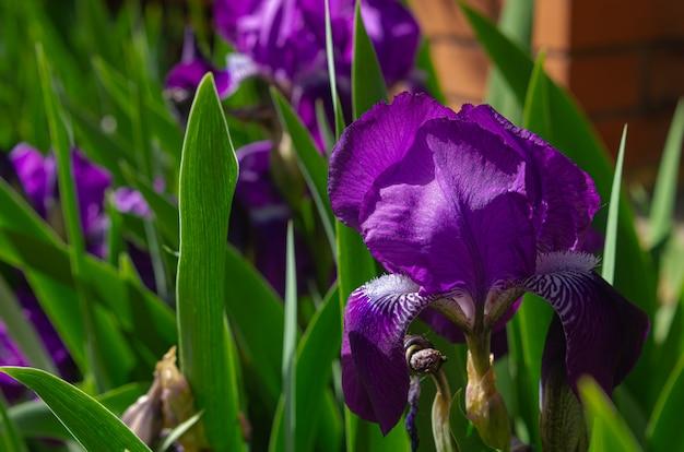Mooie bloem van blauwe iris op een bloembed