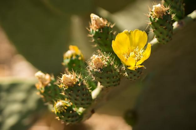 Mooie bloem van opuntia ficus-indica of cactus-peer wordt wijd verspreid langs sicilië en puglia