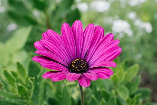 Mooie bloemen mooie paarse bloemen osteospermum groeien in de tuin in de zomer. selectieve aandacht.
