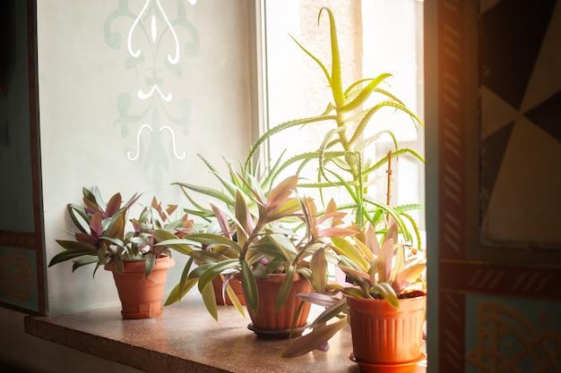 Mooie bloemen op de vensterbank in potten. aloë