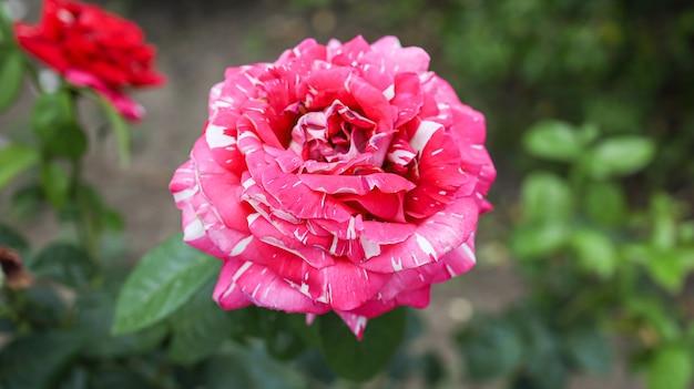 Mooie bloemroos op het gazon in de tuin