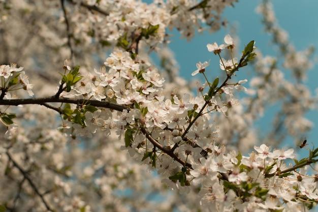 Mooie bloesem kersenboom bloemen en knoppen