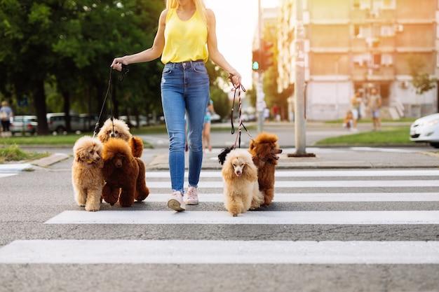 Mooie blonde vrouw van middelbare leeftijd wandelt graag met haar schattige miniatuurpoedels.