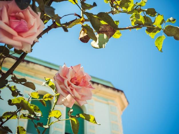 Mooie boom met bloeiende roze rozen