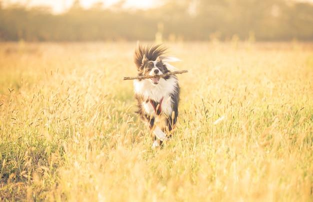 Mooie border collie die in het gras loopt