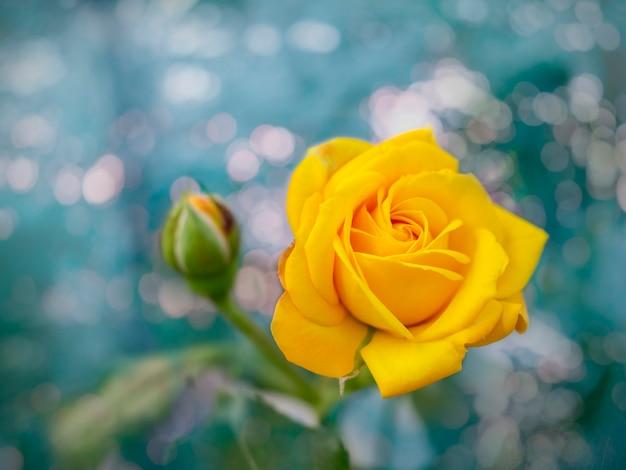 Mooie bos van bloeiende gele rozenbloemen