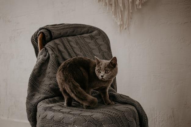 Mooie britse grijze kat die zich voordeed op grijze stoel.