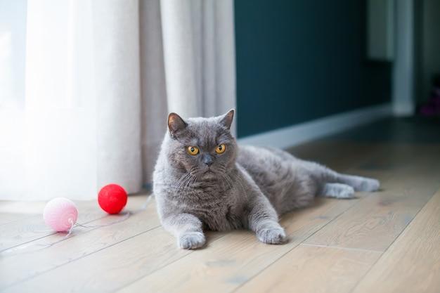 Mooie britse kat met fel oranje ogen liggend op een vloer