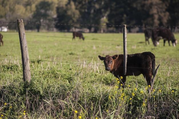 Mooie bruin kalf staande in het groene veld achter het hekwerk