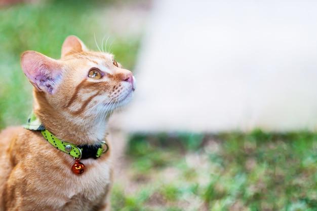 Mooie bruine binnenlandse kat in groene tuin - leuk dierlijk achtergrondconcept
