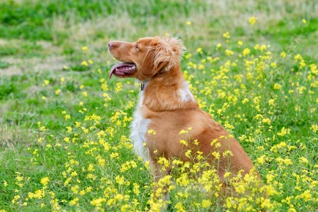 Mooie bruine bretonse hond in een weide