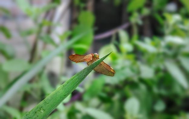 Mooie bruine kleur libel zittend op een ananasblad in de tuin close-up
