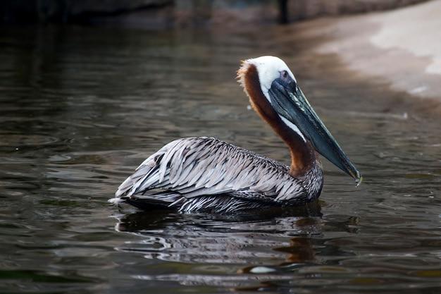 Mooie bruine pelikaan met een lange snavel