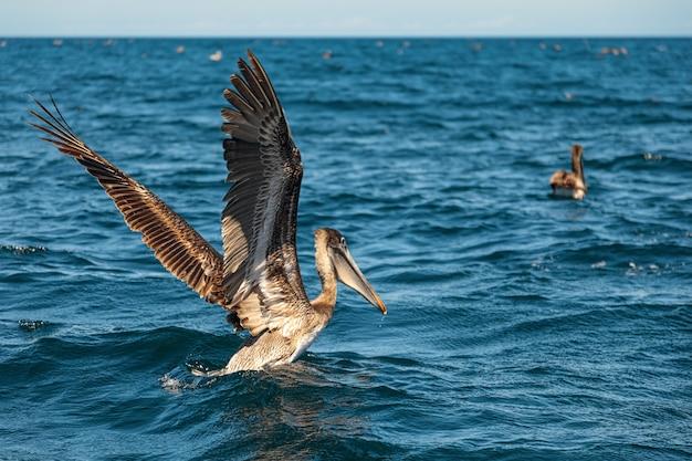 Mooie bruine pelikaan stijgt op uit de zee