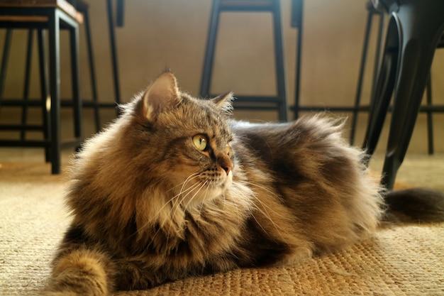 Mooie bruine pluizige haar perzische kat gehurkt op de vloer