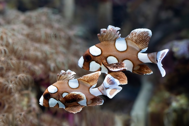 Mooie bruine vissen op de zeebodem en koraalriffen onderwater schoonheid van bruine vissen en koraalriffen