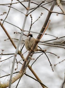 Mooie bruine vogel zat tussen de takken van een struik. close-up van een mus.