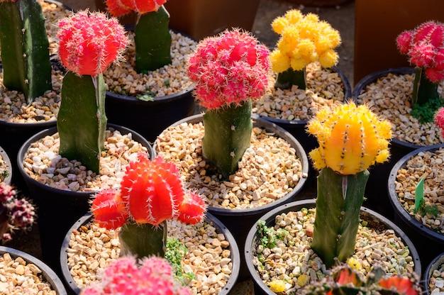 Mooie cactus en succulente of planten landbouw in thailand