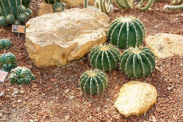 Mooie cactus in de tuin bij de botanische tuin van koningin sirikit chiang mai, thailand
