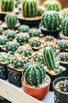 Mooie cactus in pot
