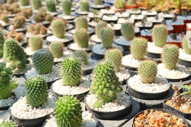 Mooie cactus voor verkopen