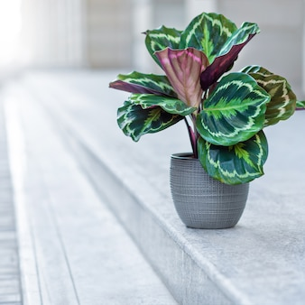 Mooie calathea plant in zilveren pot