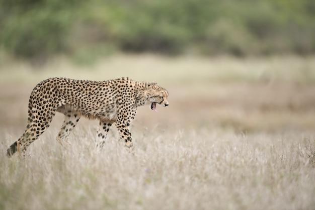 Mooie cheetah die op het struikgebied loopt met een wijd open mond