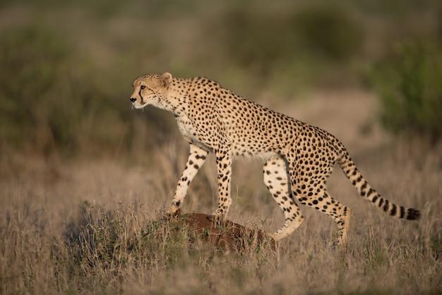 Mooie cheetah op jacht naar prooi met een onscherpe achtergrond