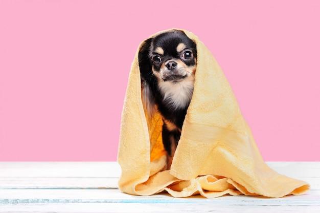 Mooie chihuahua bedekt met gele handdoek