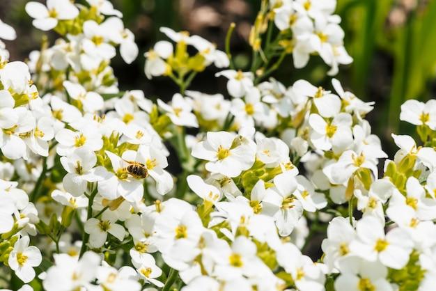 Mooie cluster van wit hesperisclose-up in macro